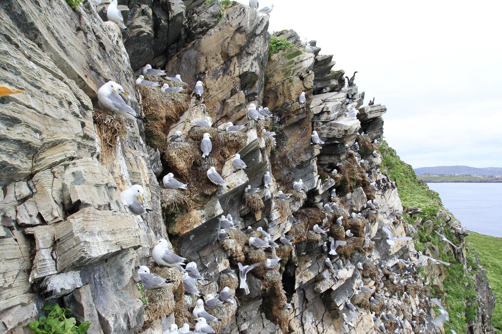 Krykkjene sitter tett i tett på fuglefjellet og har laget seg imponerende byggverk/reder på pittesmå fjellhyller.