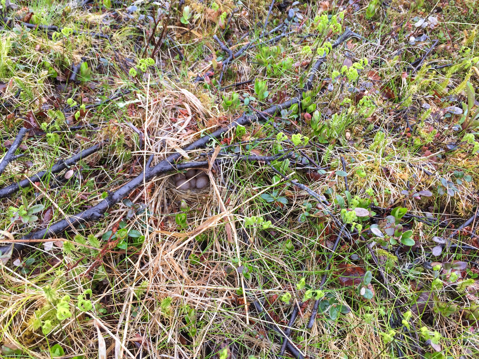 En liten kvist og noen strå er nok til å skjule løvsangerens reir. Hvor langt må du bla i bildeserien før du finner det?