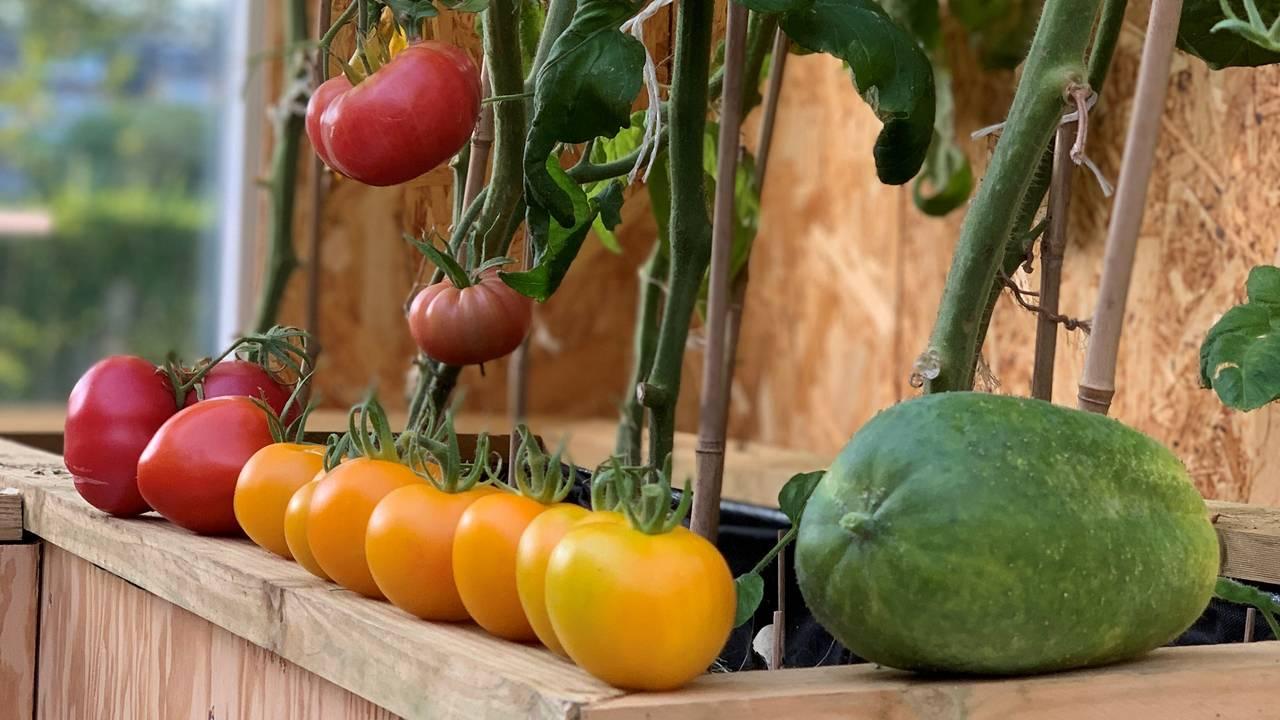 Tomater og Frilandsagurk