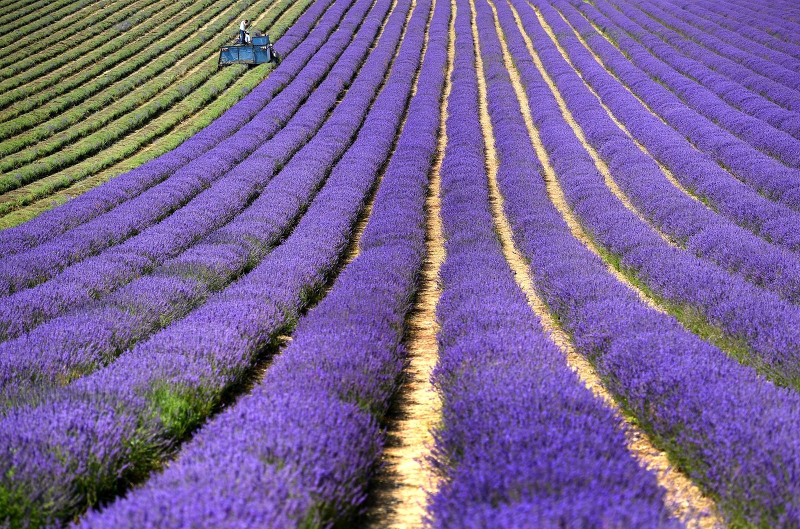 Innhøsting av lavendel i Sussex i England den 20. juli.