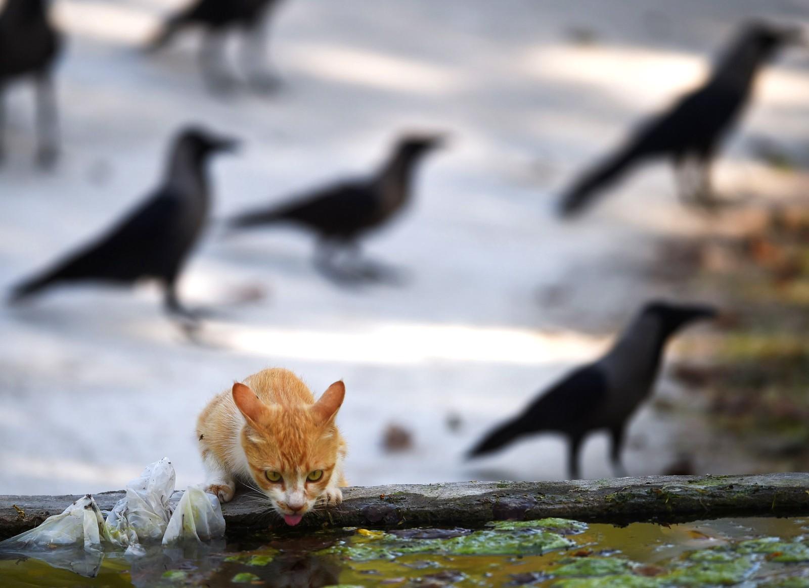 En tørst katt drikker vann under en varm dag i en dyrehage i Islamabad i Pakistan.
