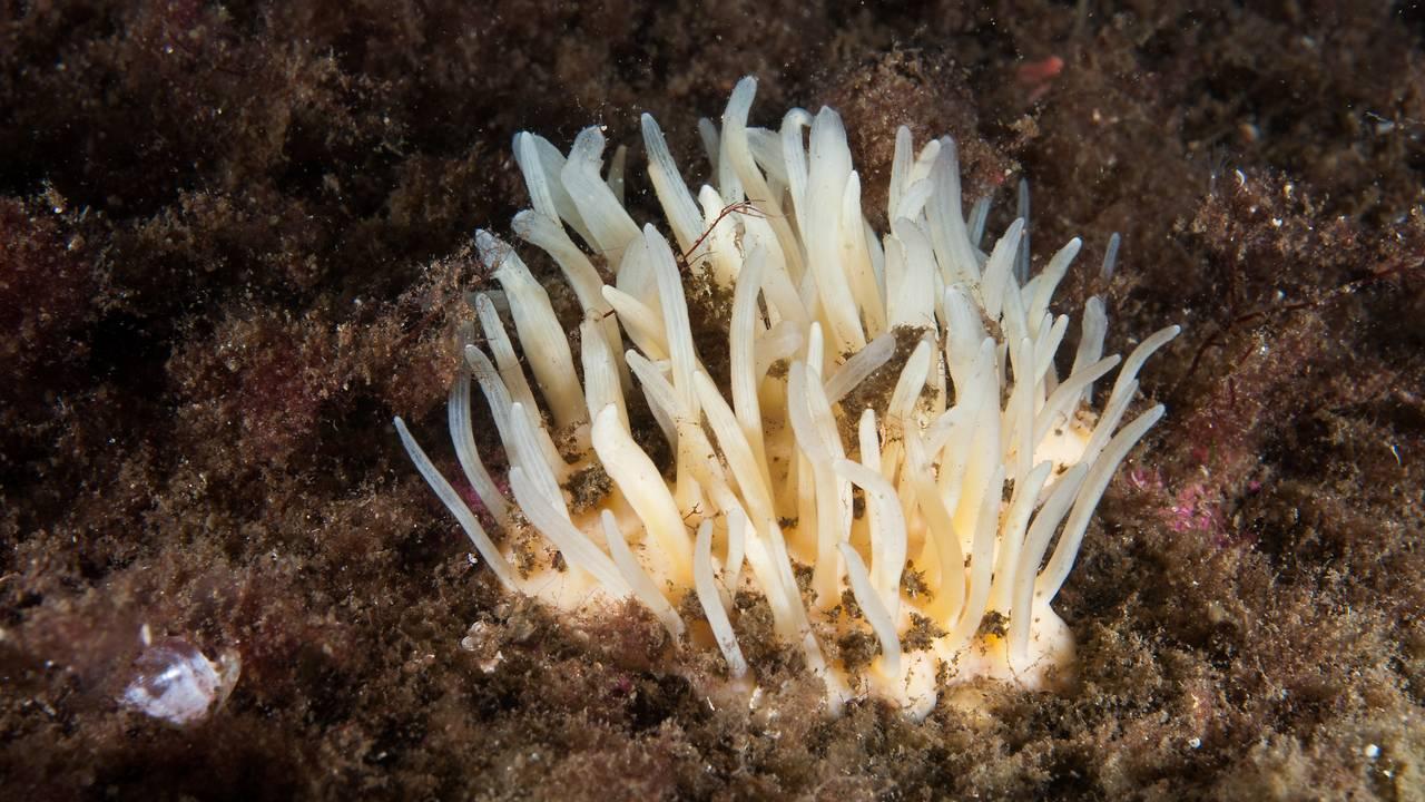 Polymastia Svenseni - den hvite svampen som vokser i havet