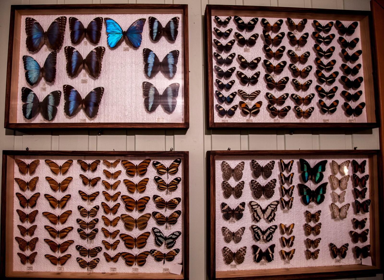 Nygårdshaug har gjennom sine reiser til regnskogen, samlet noen tusen sommerfugler.