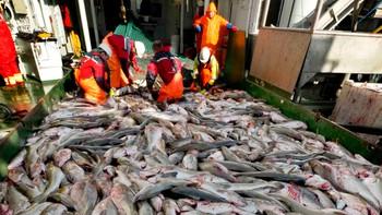 Et prøvehal med trålen viste at fisken står ganske tett i Lofoten