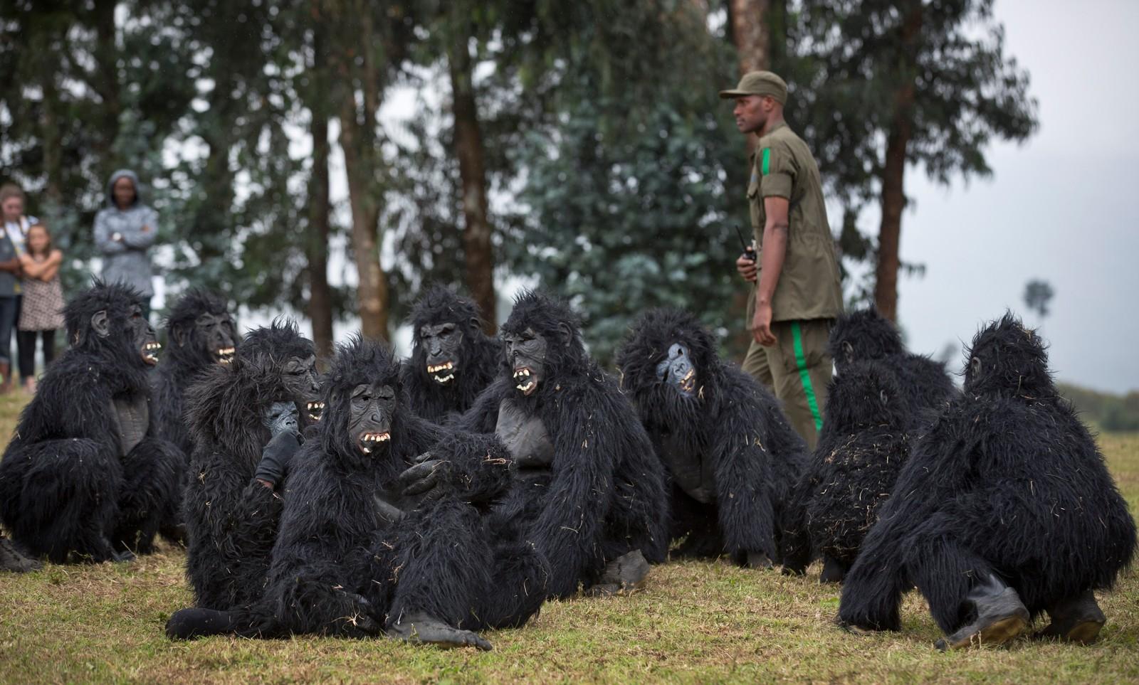 Utkledd som gorillaer feirer denne gjengen en navneseremoni for to gorillaer i Kinigi, Rwanda. Arrangementet er ment å gi oppmerksomhet til utrydningstrua gorilla-arter.