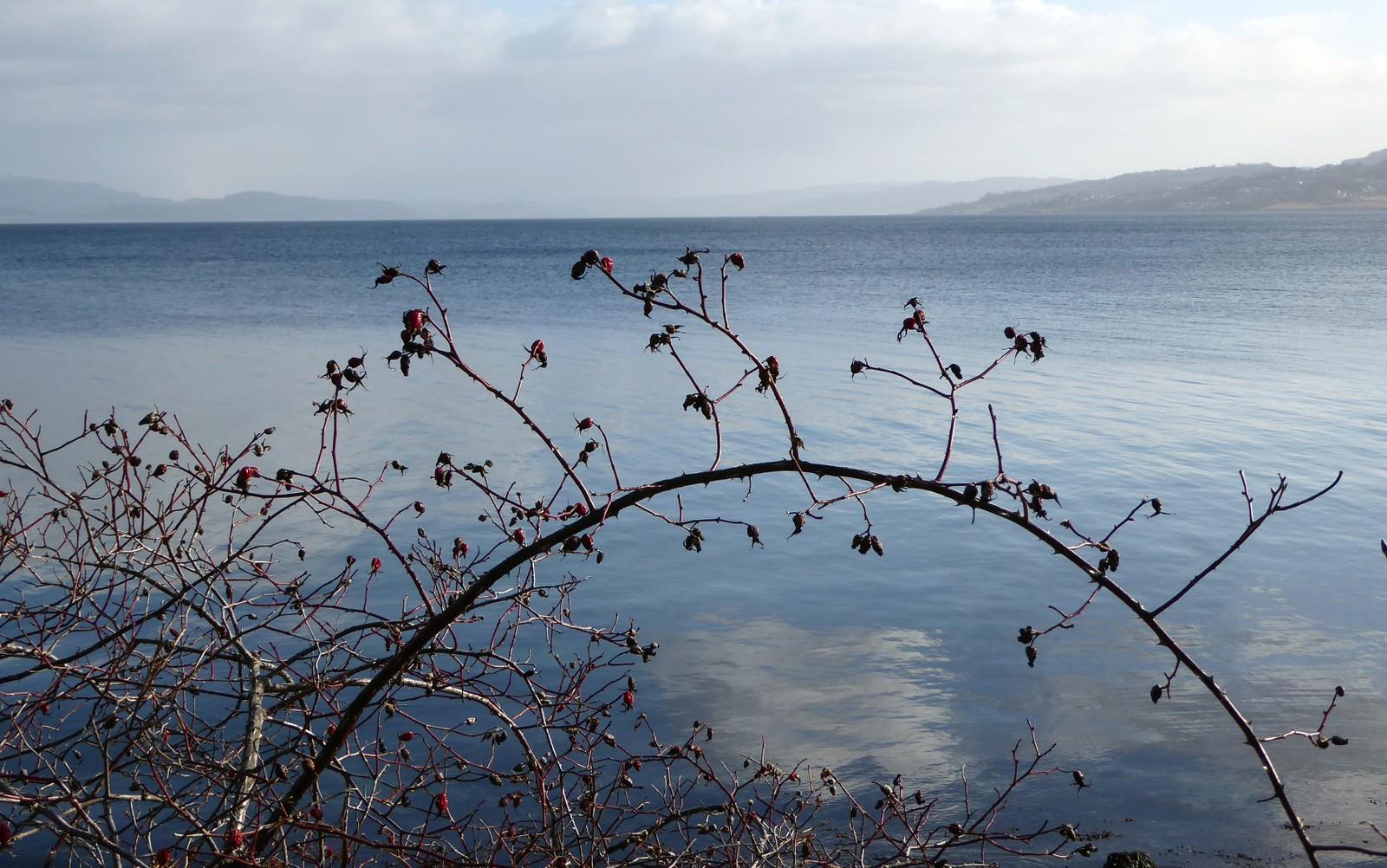 Fjorårets nyper ved Trondheimsfjorden