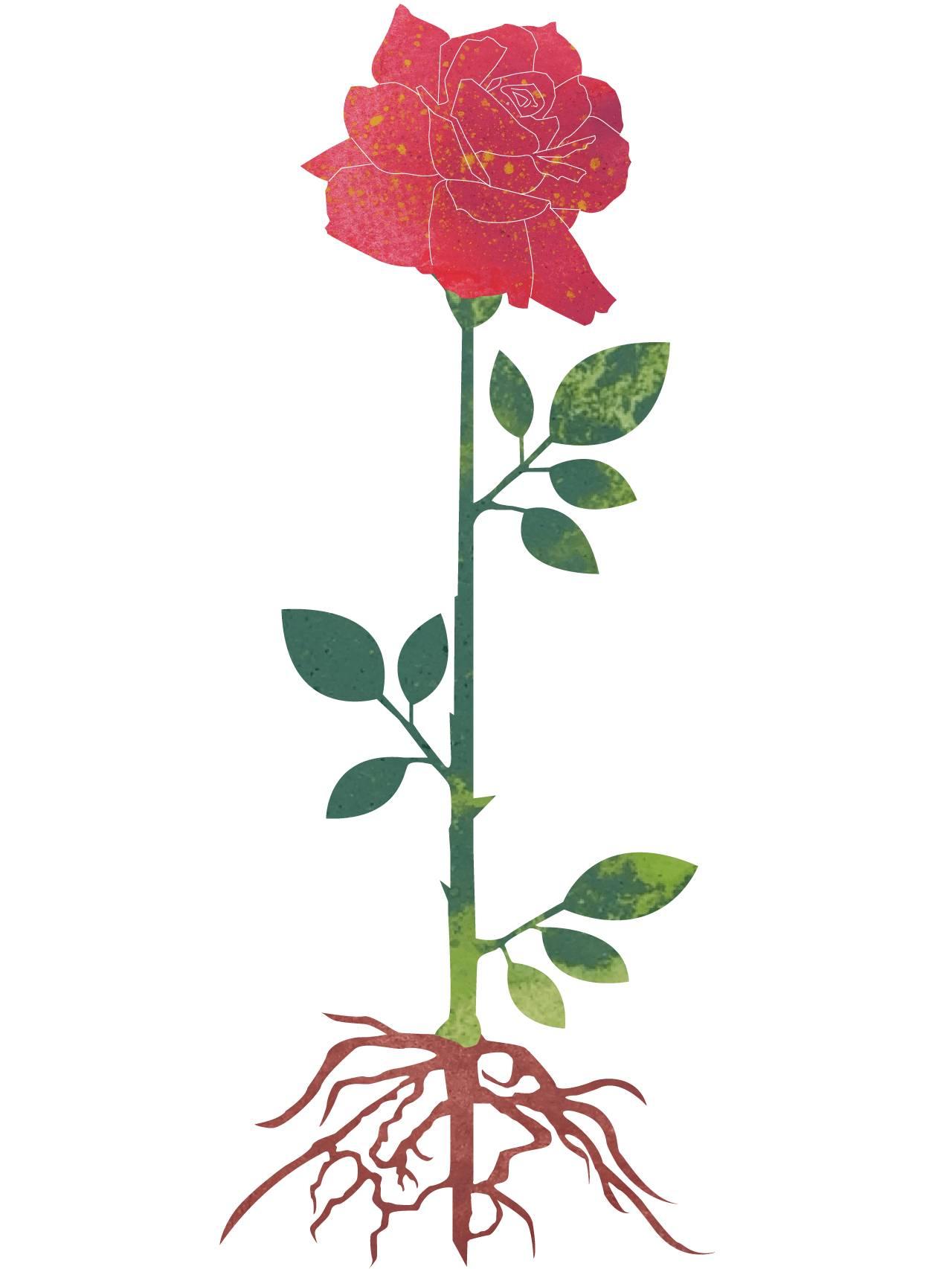 Rosen er ferdig utsprunget