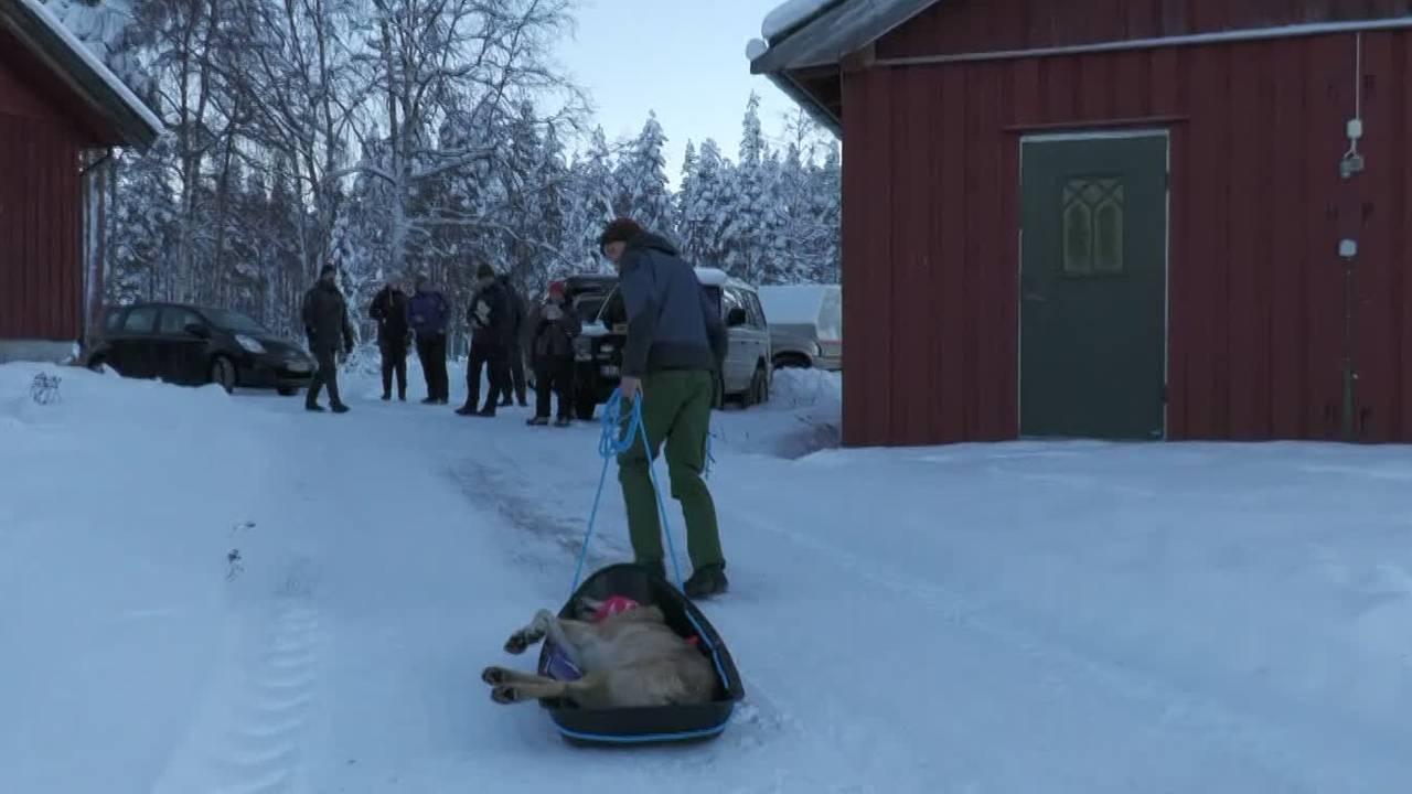 Tispa til Elgåulven fraktes på akebrett til bilen som skal flytte ulveparet til Østfold