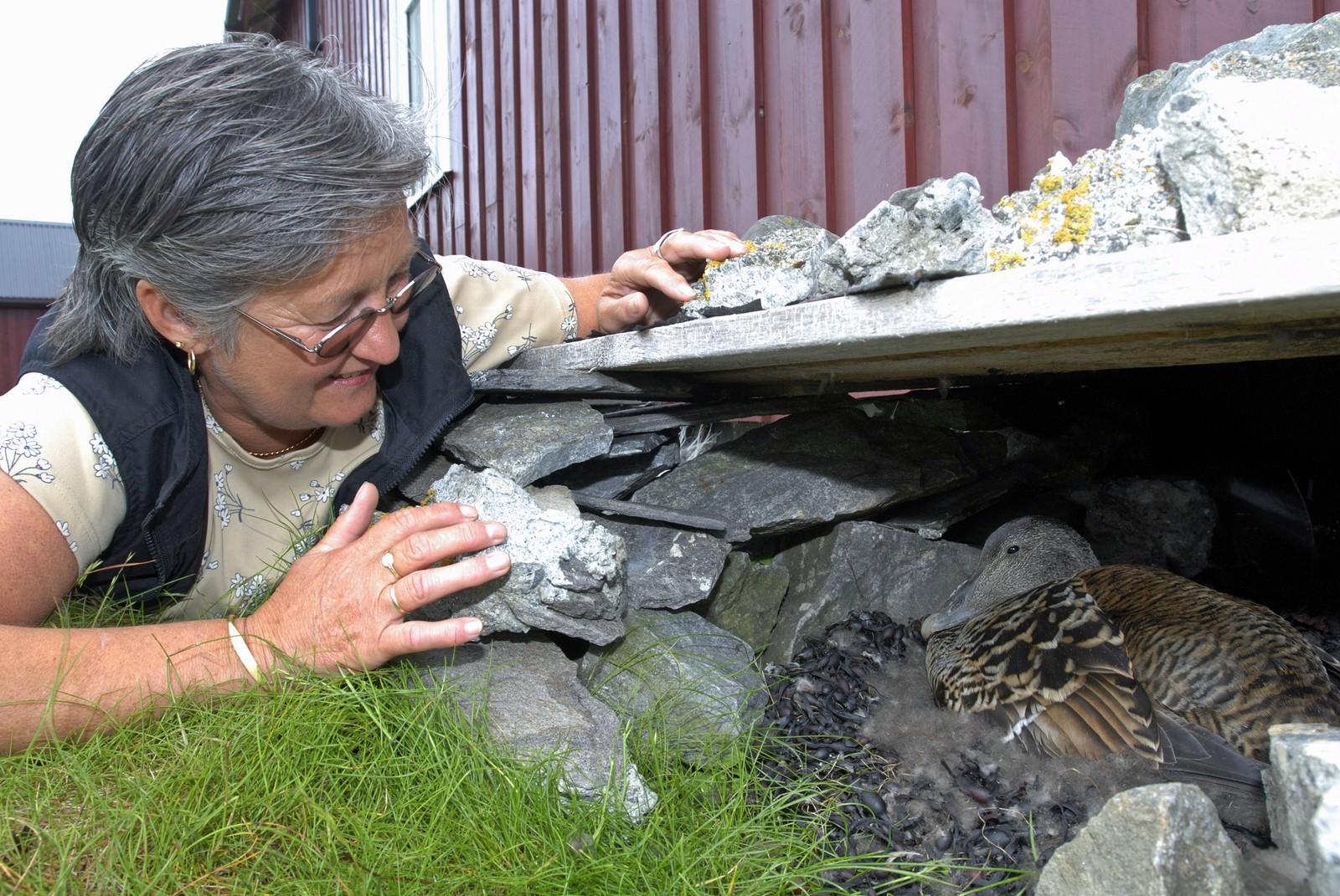 Margit Lande ved ærfuglreir på dunværet på Vegaøyan.