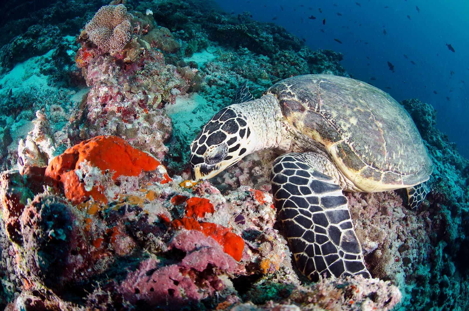 Skilpadde, fotografert på Maldivene