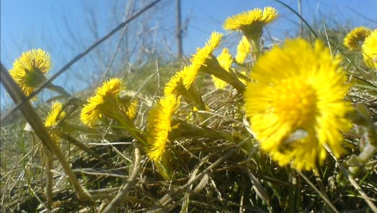DET FØRSTE VÅRTEGNET: Hestehov er blant de første blomstene som vokser opp om våren. Kanskje vil vi se blomstene flere steder allerede neste uke?