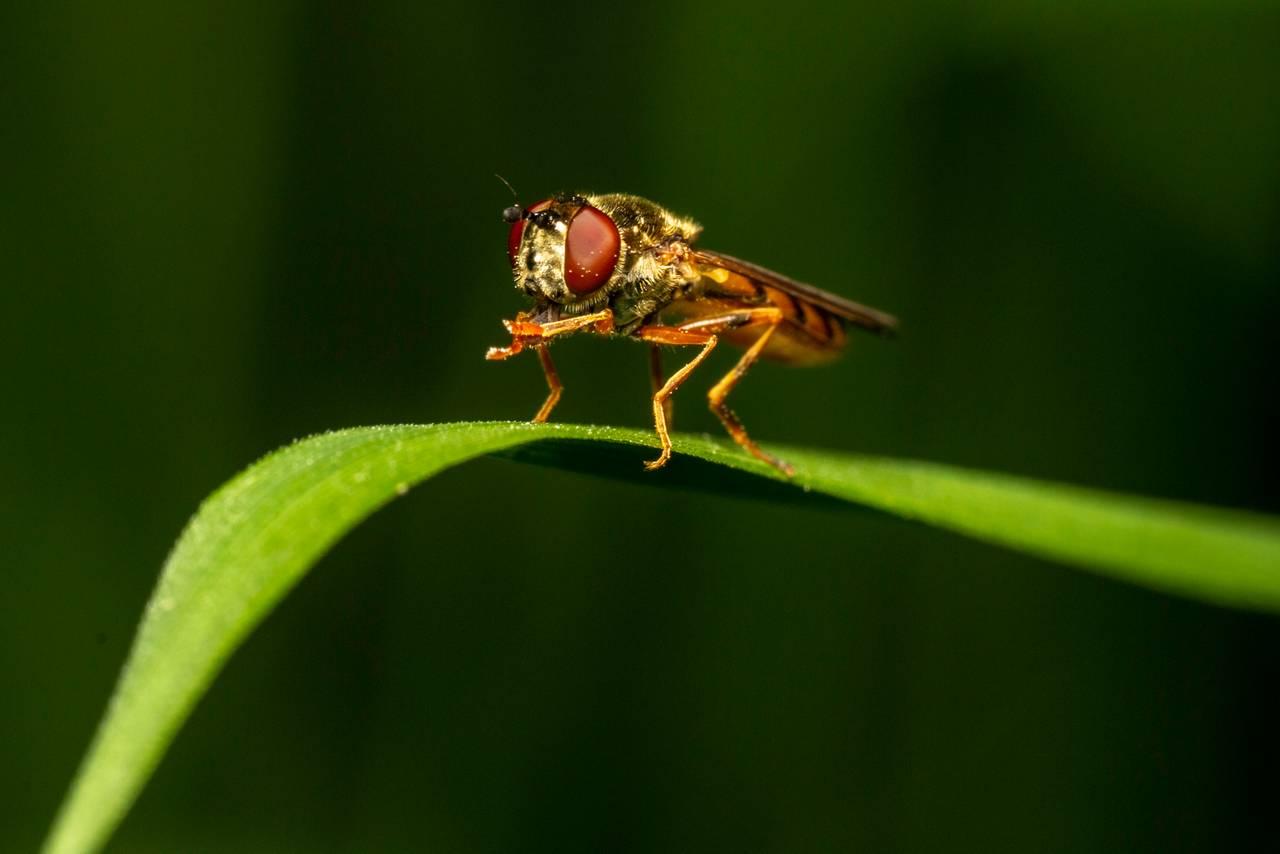 En blomsterflue vaier i vinden på et gresstrå mens den vasker frembena sine. Den er fargerik med striper og har smal bakpart.