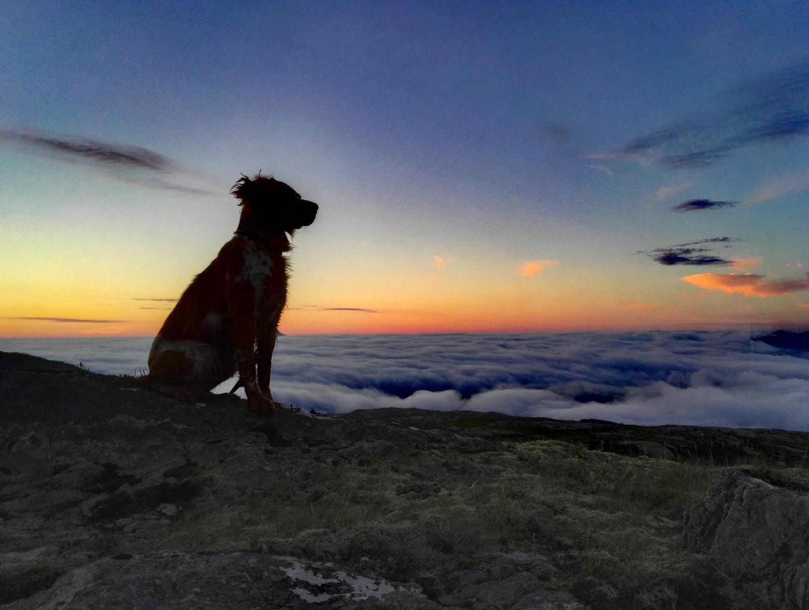 Fuglehund i solnedgang. Davik.