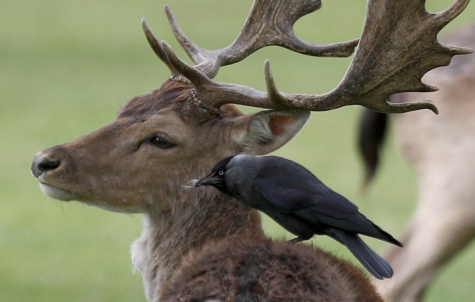 En fugl sitter på en hjort og funderer på tilværelsen i Bushby Park i London. Hva de ser på, sier nyhetsbyrået Reuters ingenting om.