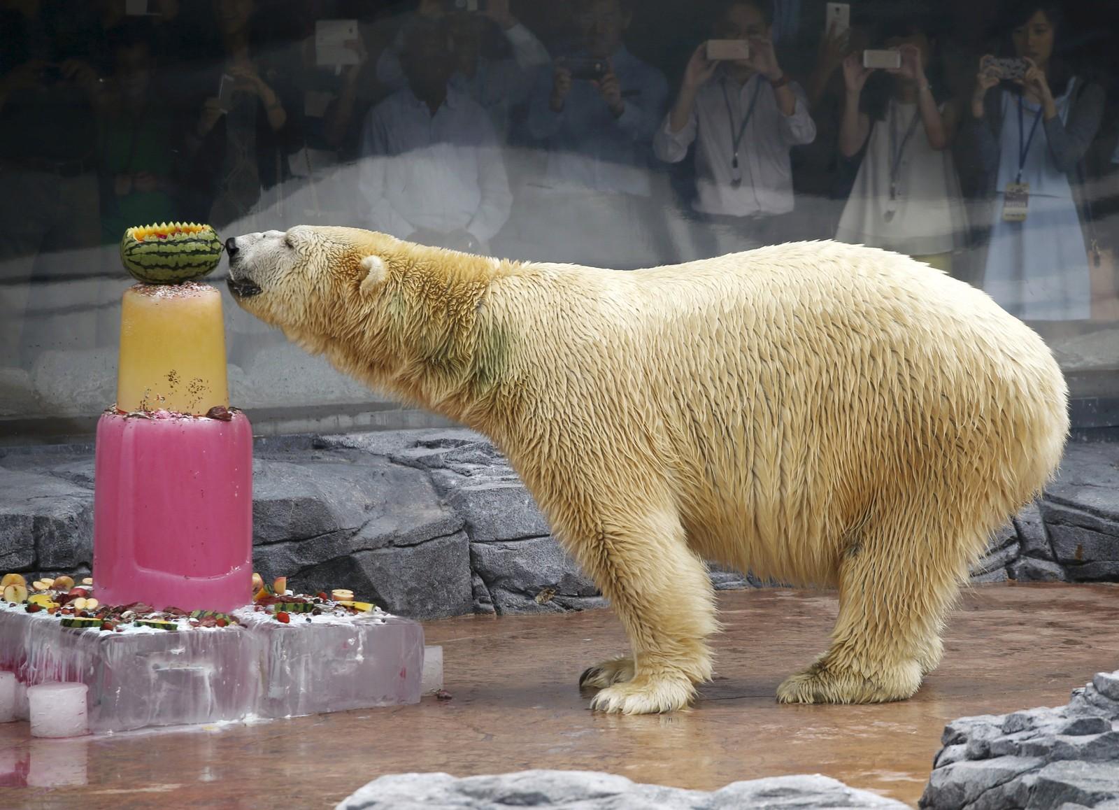 Inuka, verdens første isbjørn født i tropene, nyter en is på 25 års-dagen sin i Singapore Zoo.