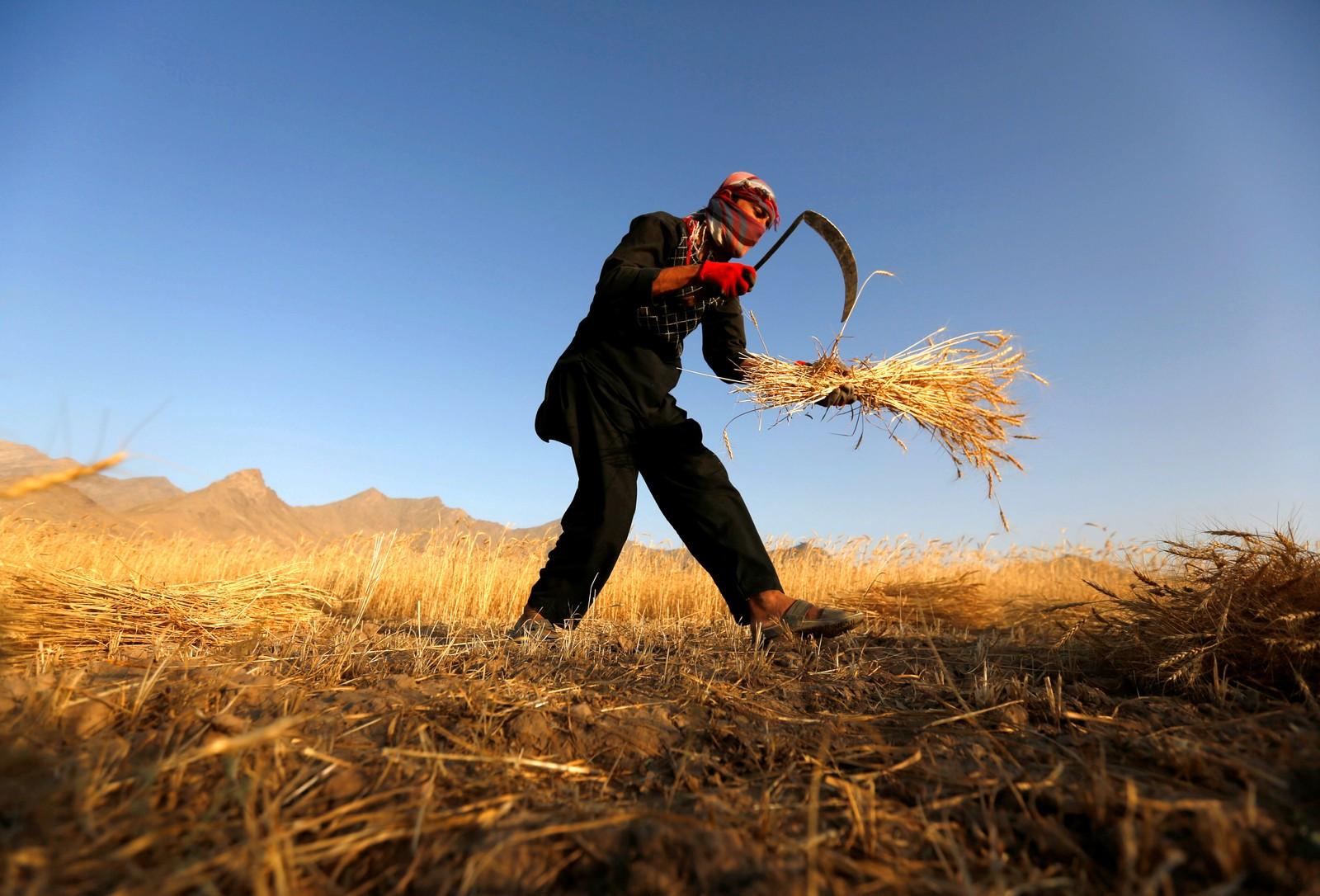 En afghansk mann høster hvete utenfor Kabul den 11. juli.