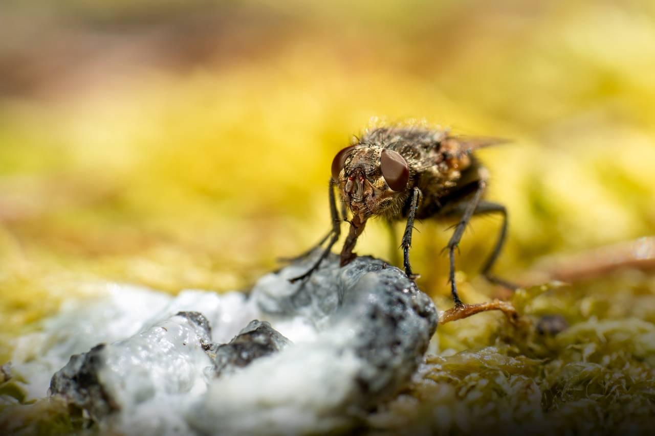 Nærbilde av en flue som dypper tunga si i en saftig fuglebæsj. Den har de fremre bena i fuglebæsjen også.