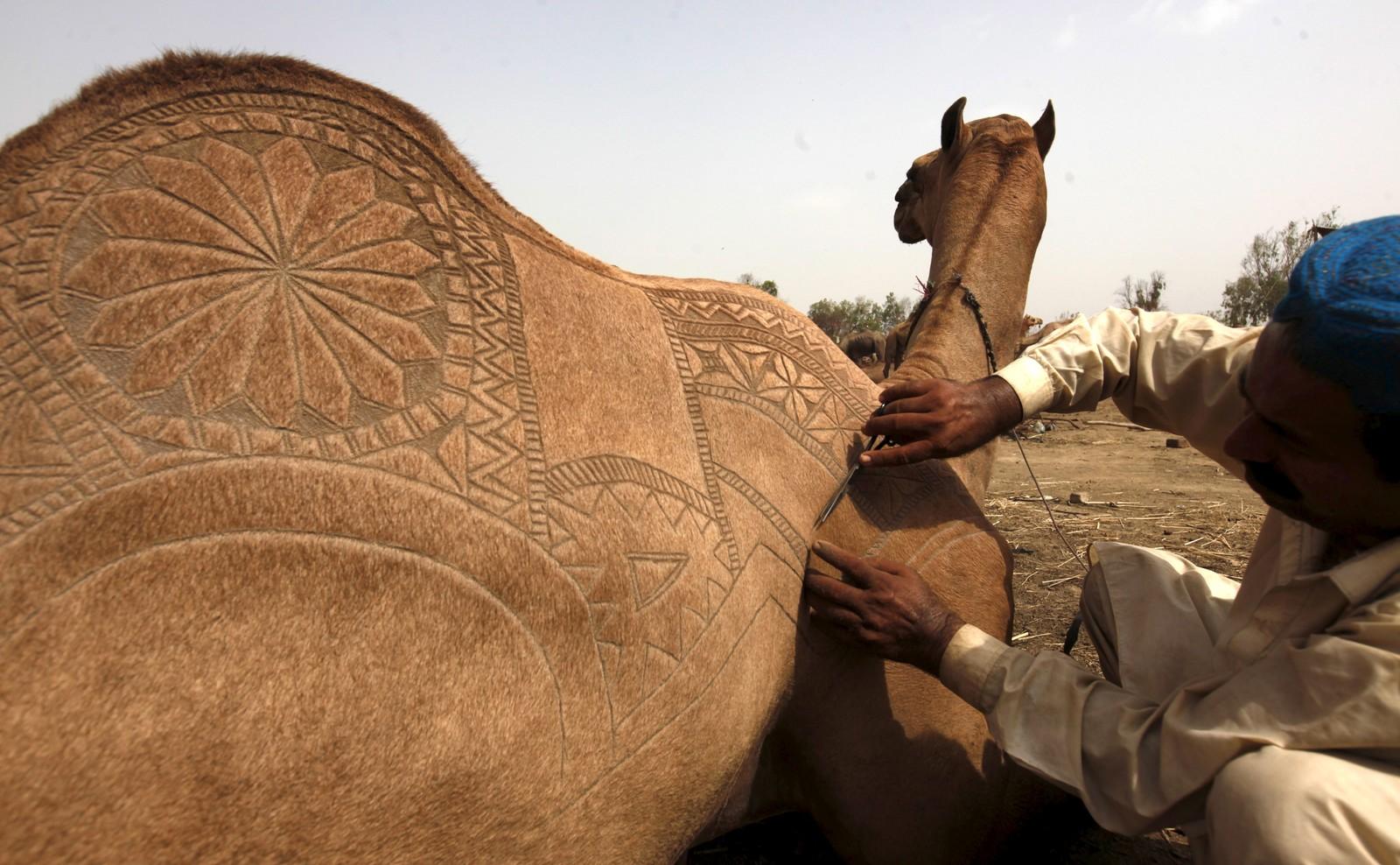 Denne kamelen gjøres klar til offer som en del av Eid-feiringa i Pakistan.