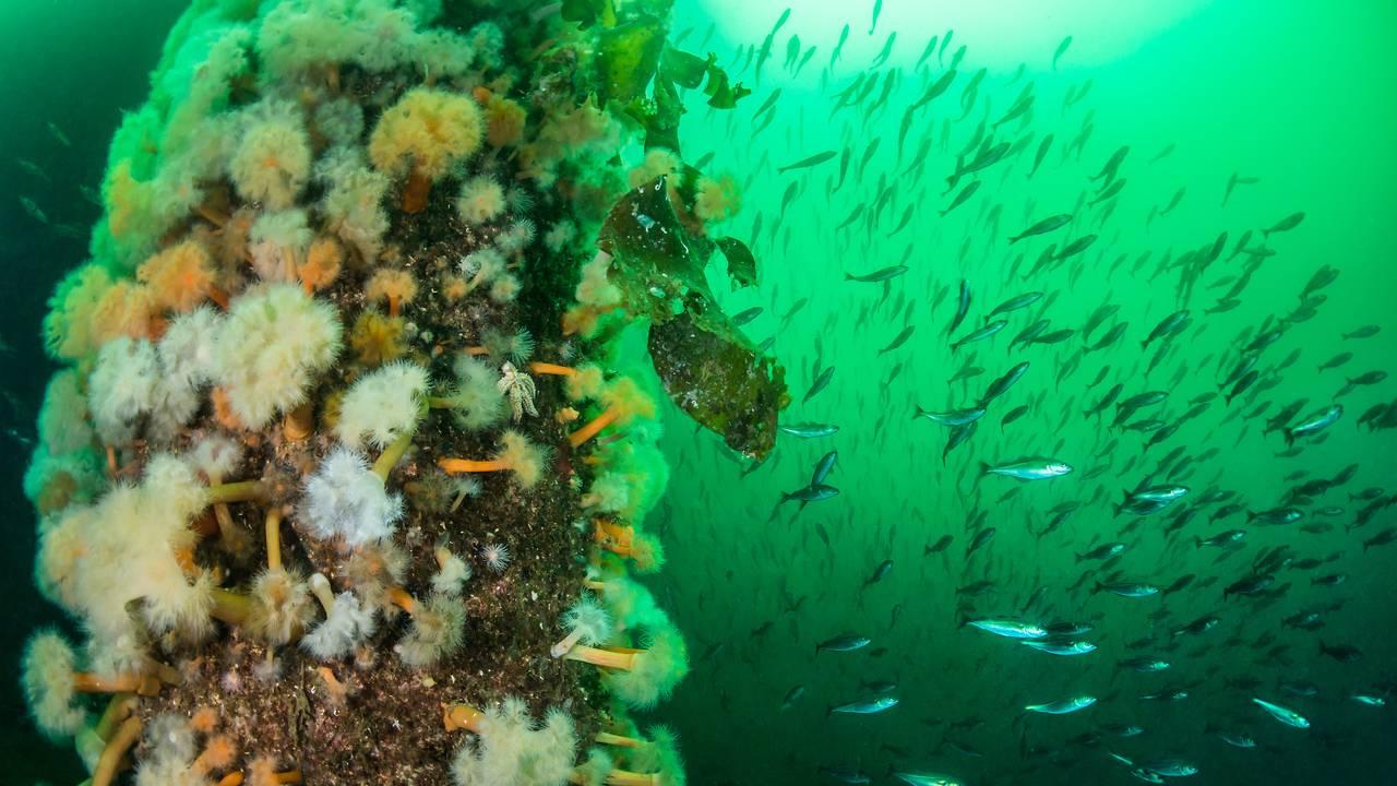 Pilarer fulle av sjøanemoner, sukkertyare og andre dyr Førdefjorden