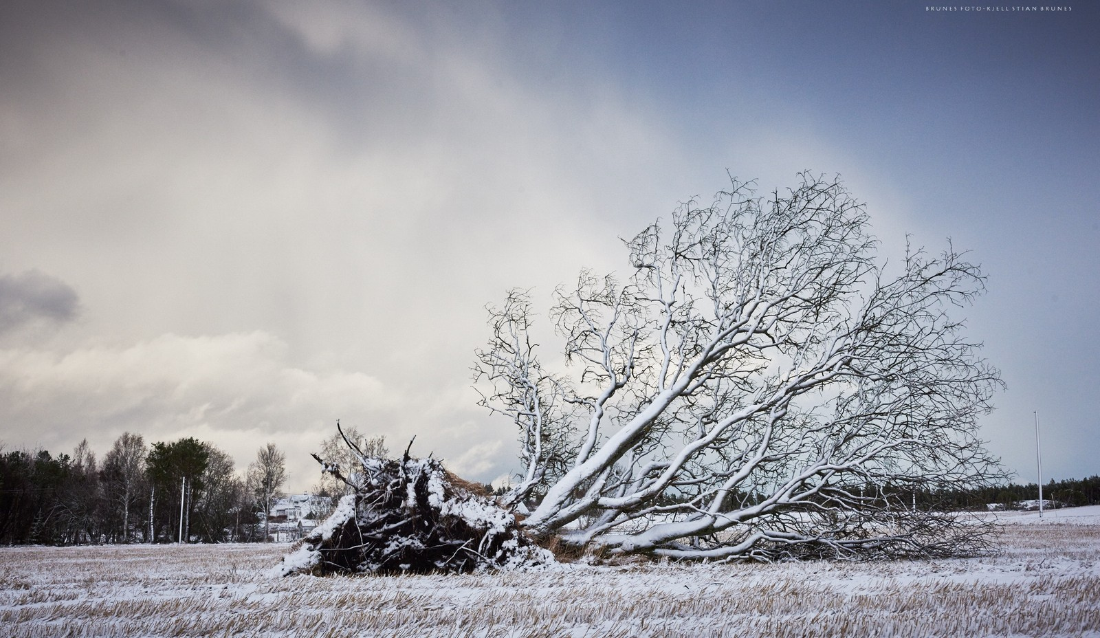 Dette over 100 år gamle seljetreet som har stått på Rød i Gossen i Aukra kommune, måtte gi tapt for uværet Tor.