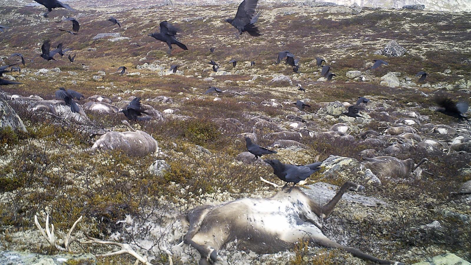 Ravn forsyner seg av reinkadaver på Hardangervidda. Bildet er tatt 22. september 2016.