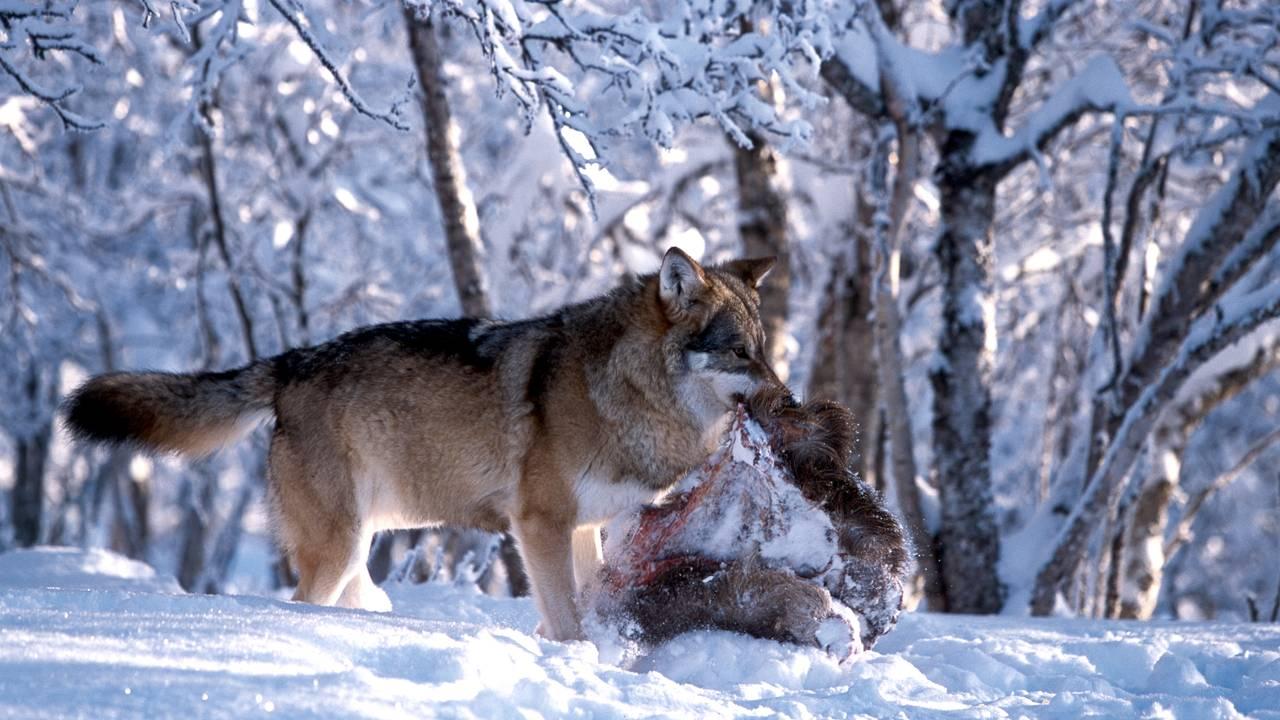 En ulv med bytte går gjennom snøen