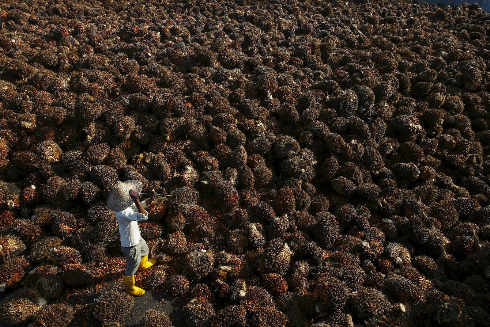 Hauger av palmeolje-frukt. Slik ser det ut på en palmeoljefabrikk i Kuala Lumpur. Malaysia er storeksportør av palmeolje.
