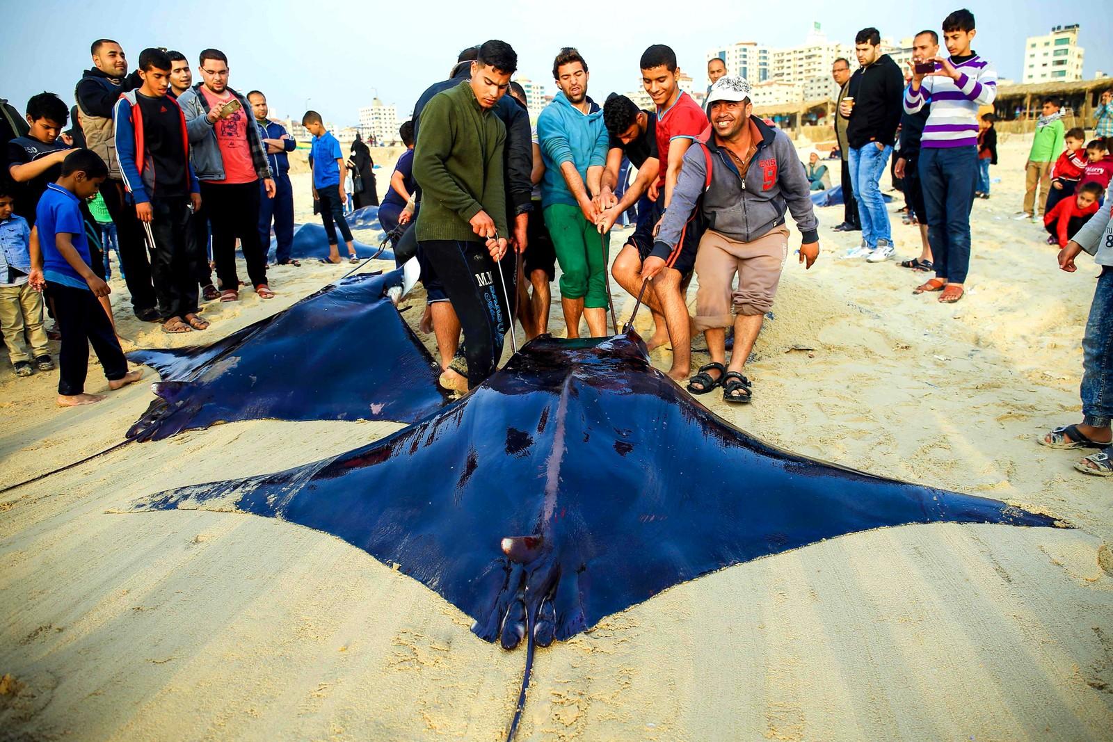 Palestinske fiskere drar piggrokker på land i Gaza.