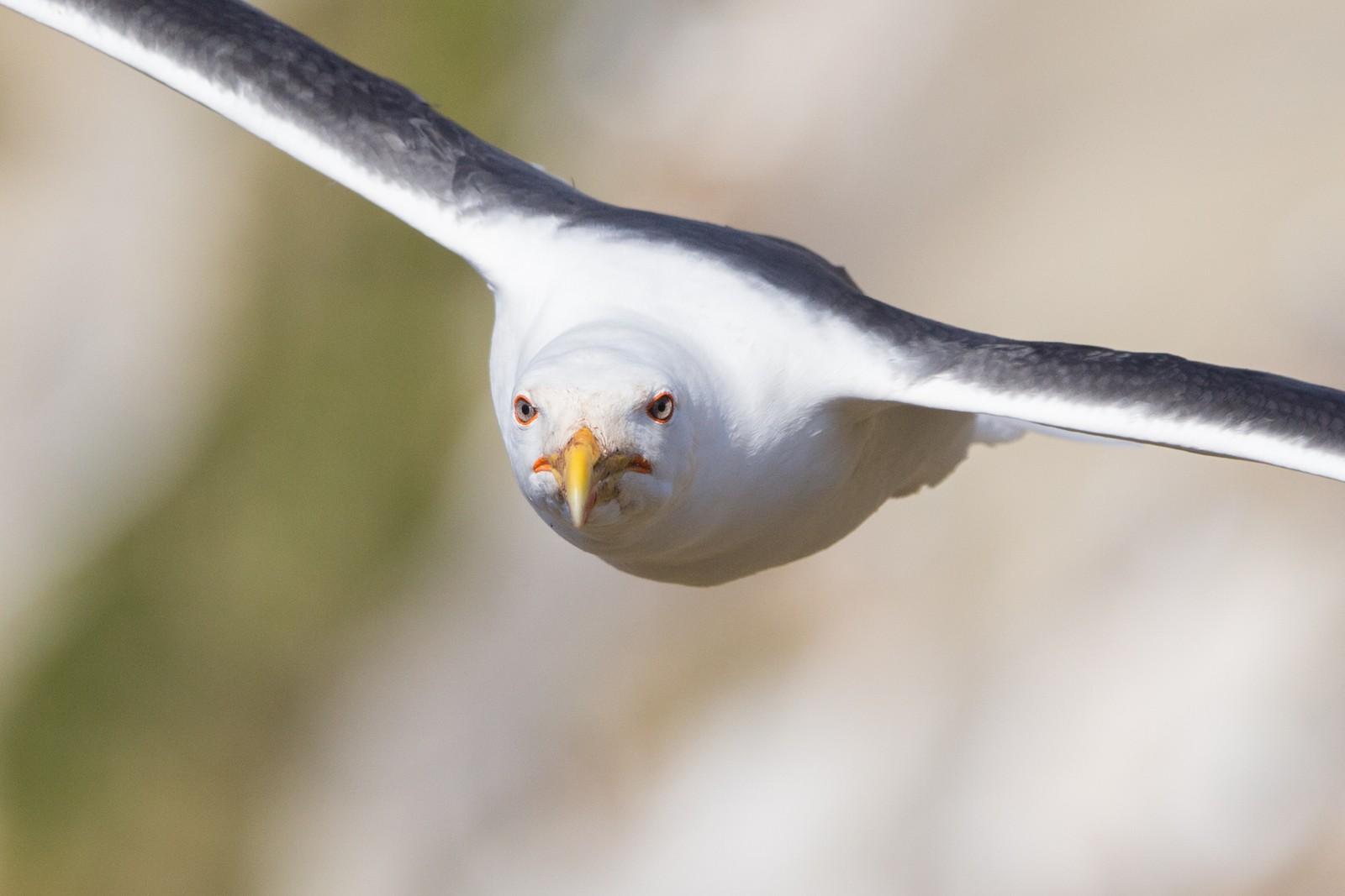 Svartbaken er den største av sjøfuglene som holder til på Hornøya.