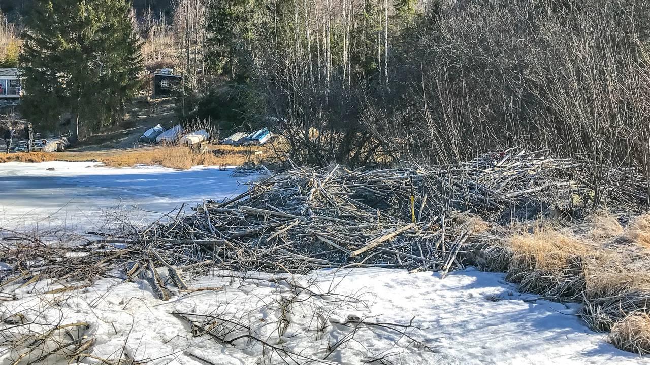 En beverhytte langs bredden av et vann i Telemark. Hytten ser ut som en haug med kvister.
