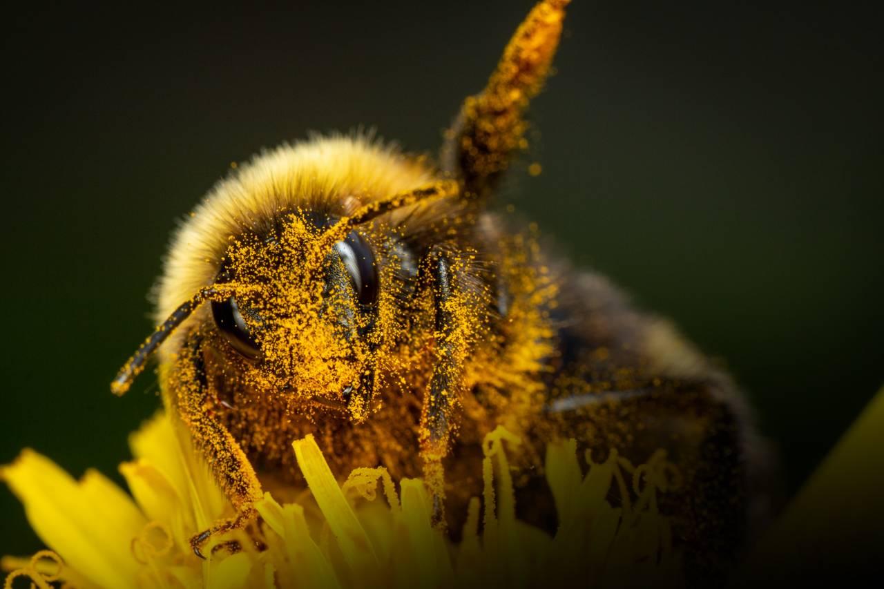 Humla har hår omtrent over hele kroppen. Den er dekt av små pollenkorn. Den bader i pollen. Du ser de lange dråpeformede fasettøynene titter rett mot deg.