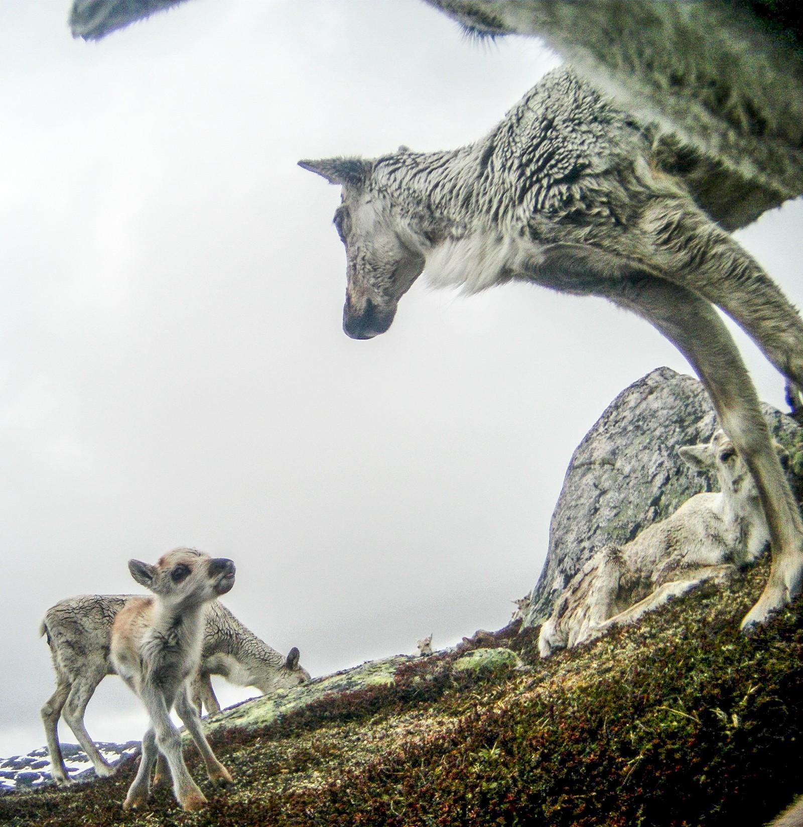 Kalvene blir født på vårparten, og holder sammen med moren i vel et halvt år.