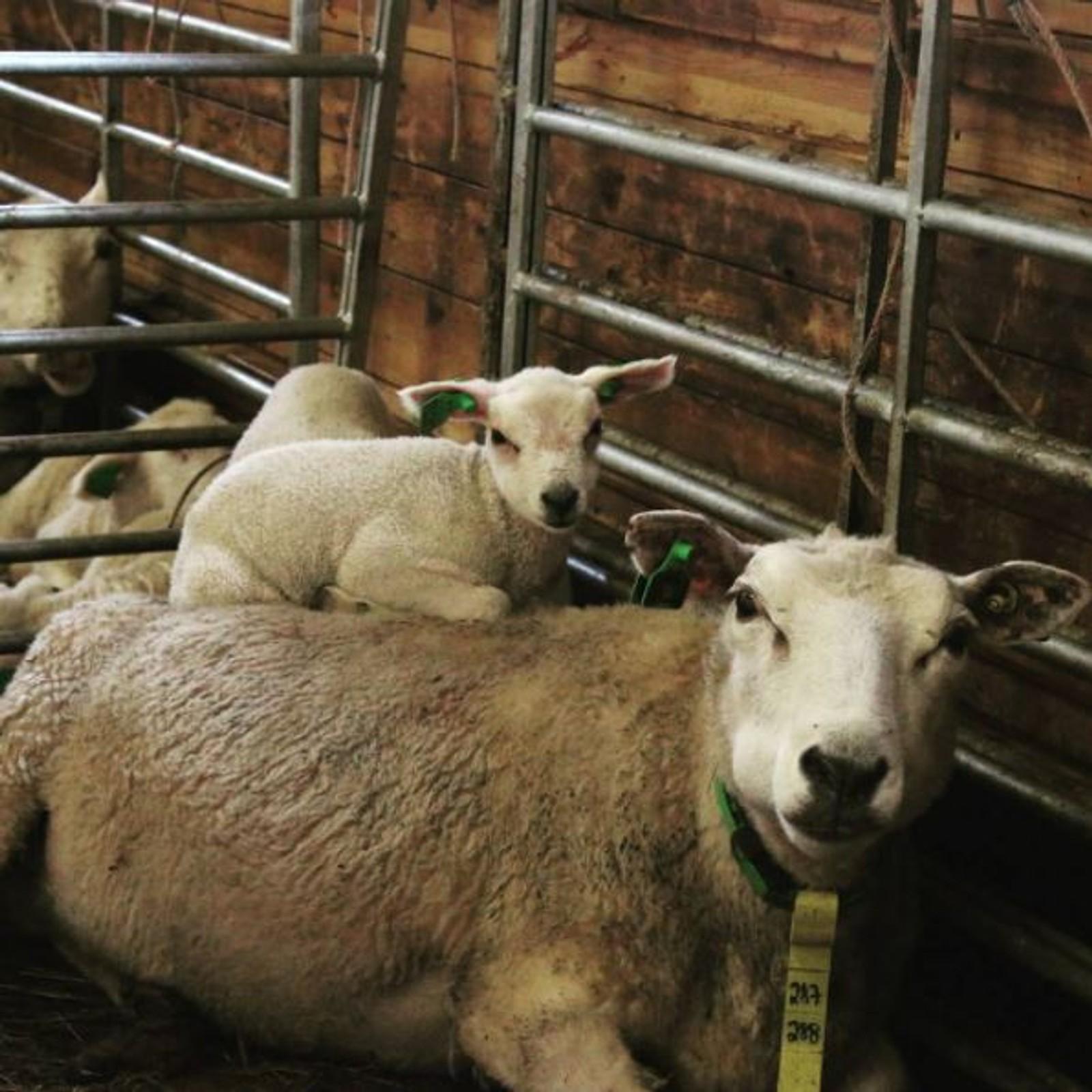 Lammene er kommet på gården i Skallelv.
