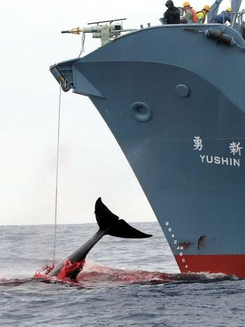 Hvalfangst fra det japanske skipet Yushin Mari i Sørishavet i 2006.