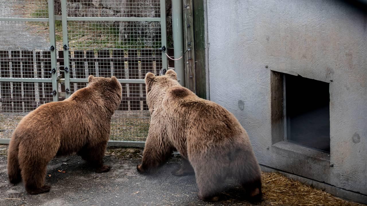 Bjørner i Bjørneparken i Flå.
