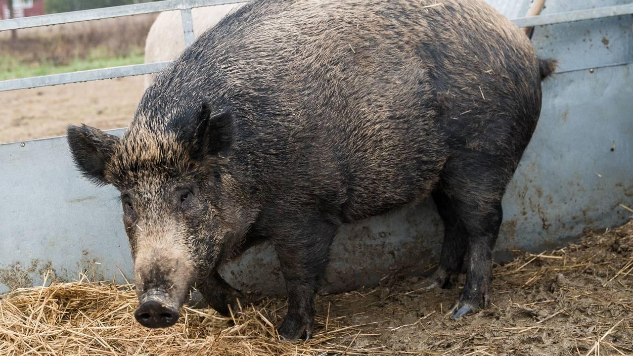 Halvt gris, halvt villsvin