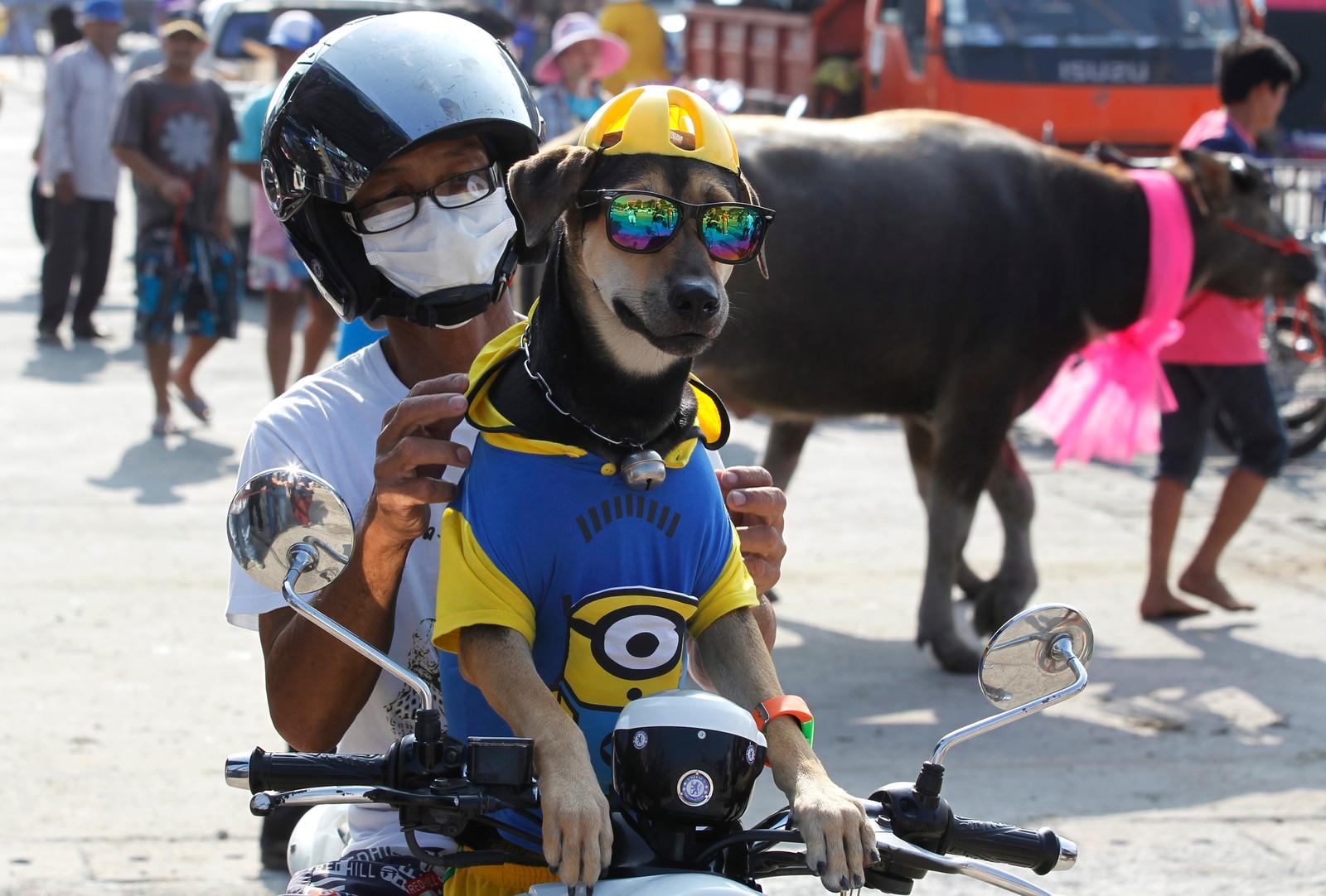 En mann og hans hund ser på et okseløp i Thailand. På en moped.