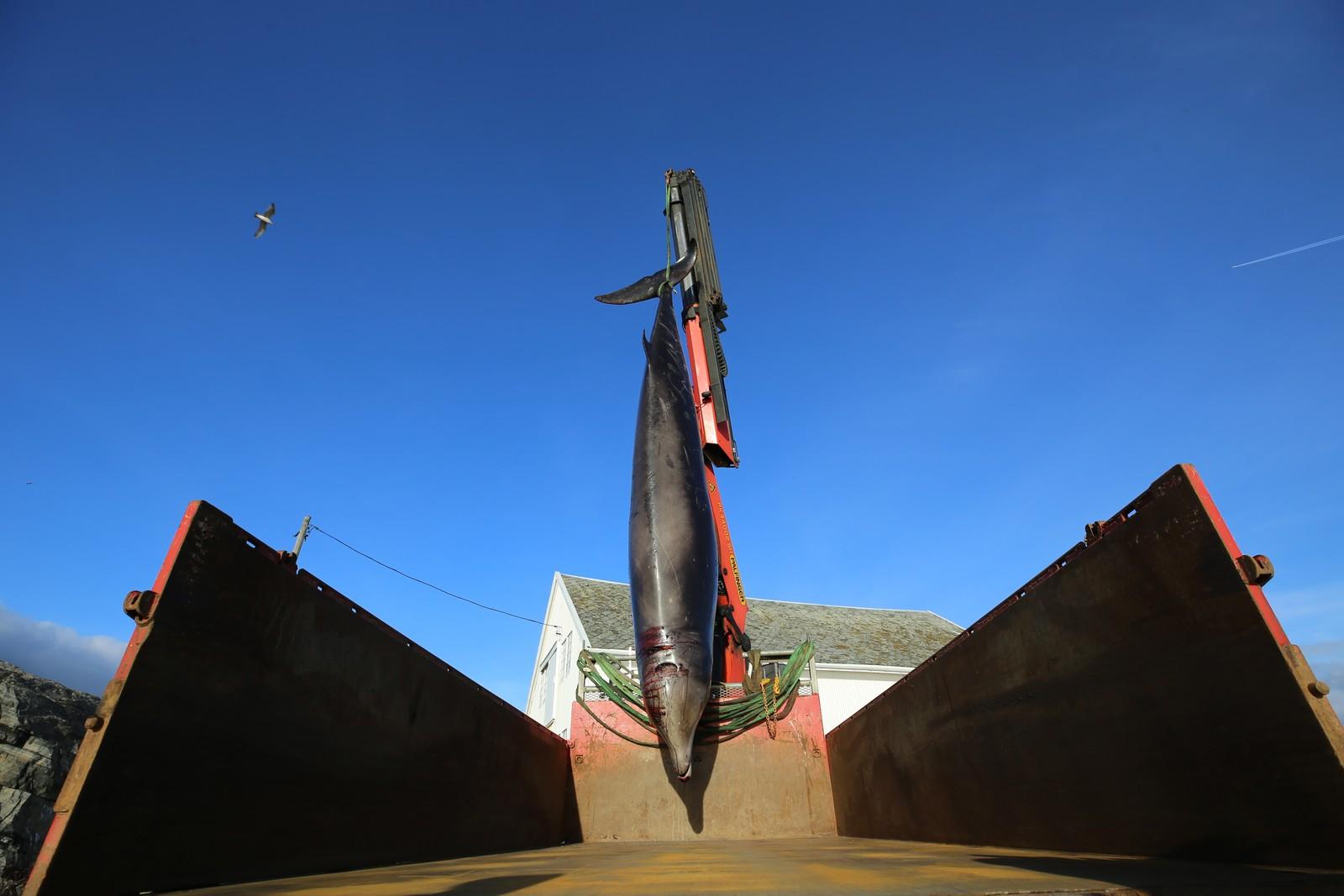 BILTRANSPORT: Gåsenebbhvalen ble transportert med lastebil til Blomsterdalen vest i Bergen.