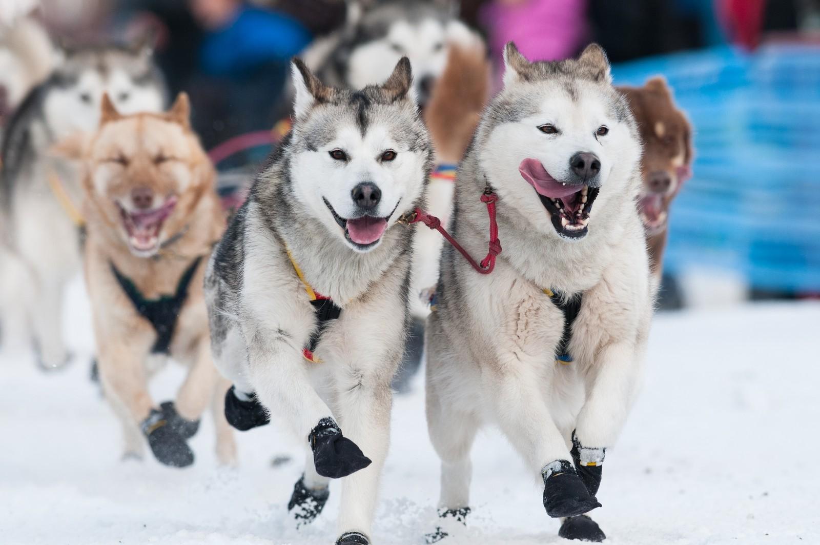 Alaskan Malamute - uvanlig rase i Finnmarksløpet.