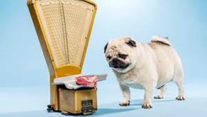 Sveriges tjukkeste hunder