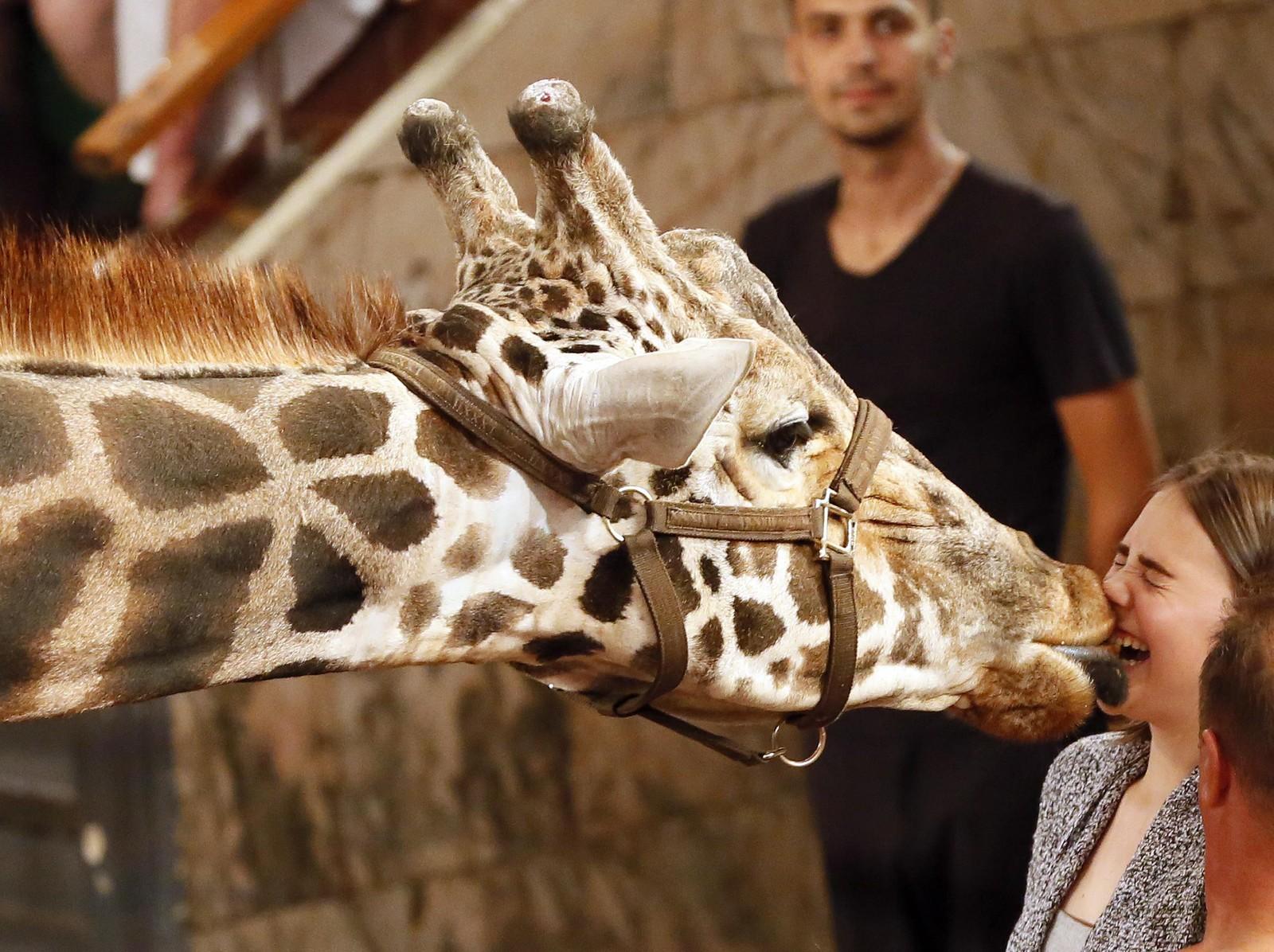 Smask! En publikummer fikk nærkontakt med den 5,7 meter høye giraffen Bagir under Afrika-showet til det statlige sirkuset i Krasnojarsk i Sibir i Russland torsdag.