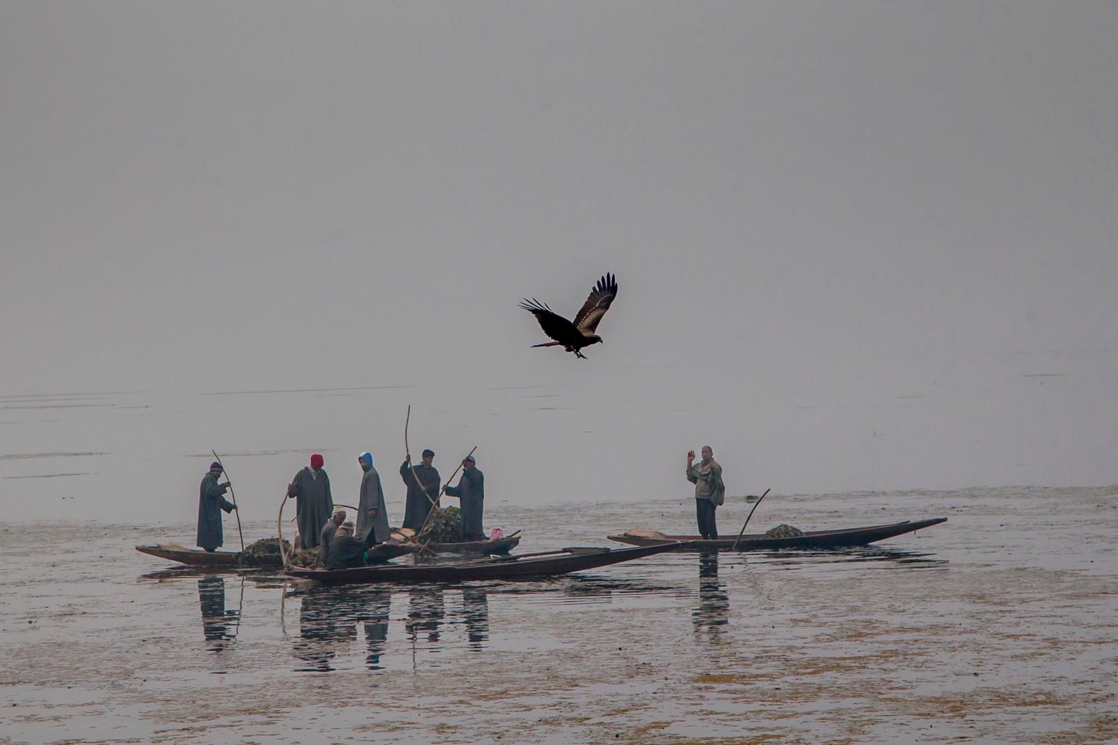En ørn flyr over arbeidere som fjerne ugress fra Dal-sjøen i Srinagar i India.