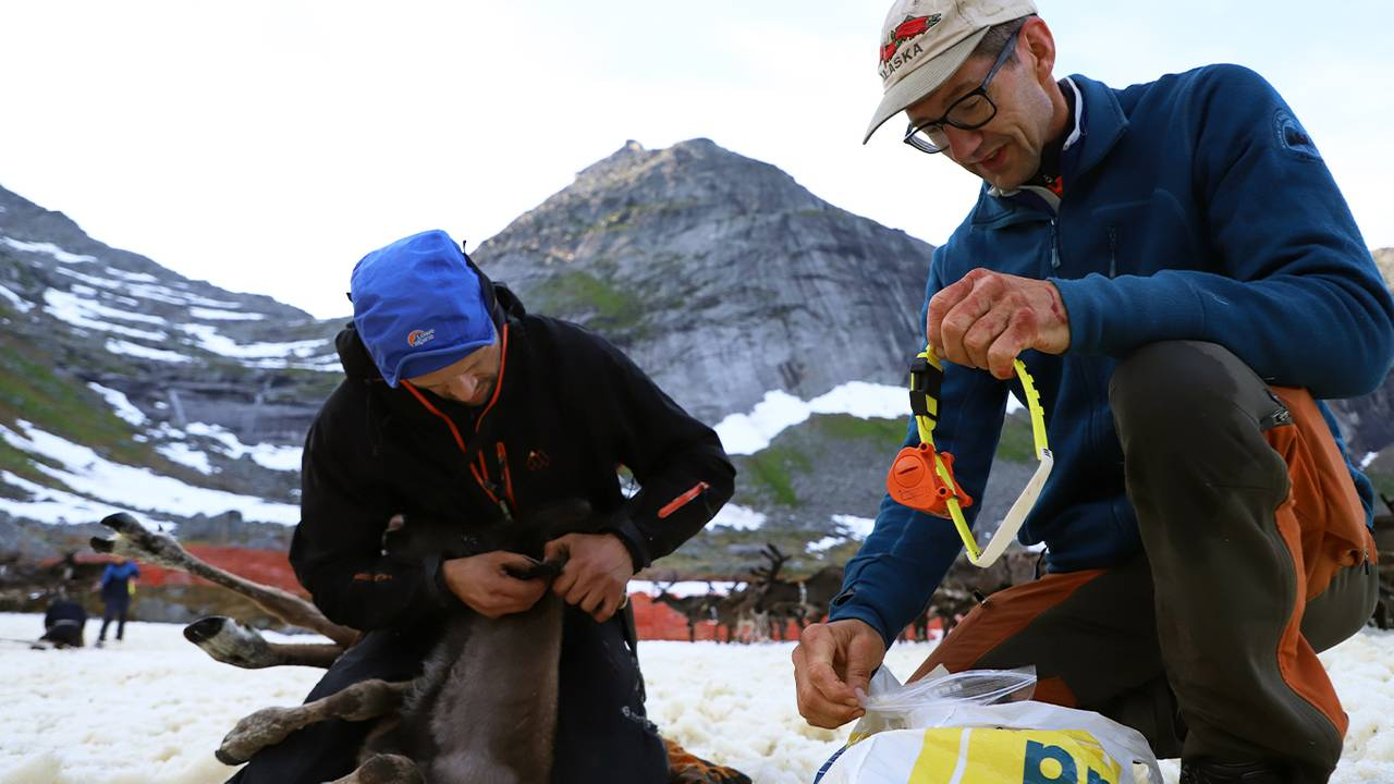 Svein Eilertsen fra NIBIO holder gule klavebånd som kan redde reinsdyr og Mats Jonas Pavall merker reinen