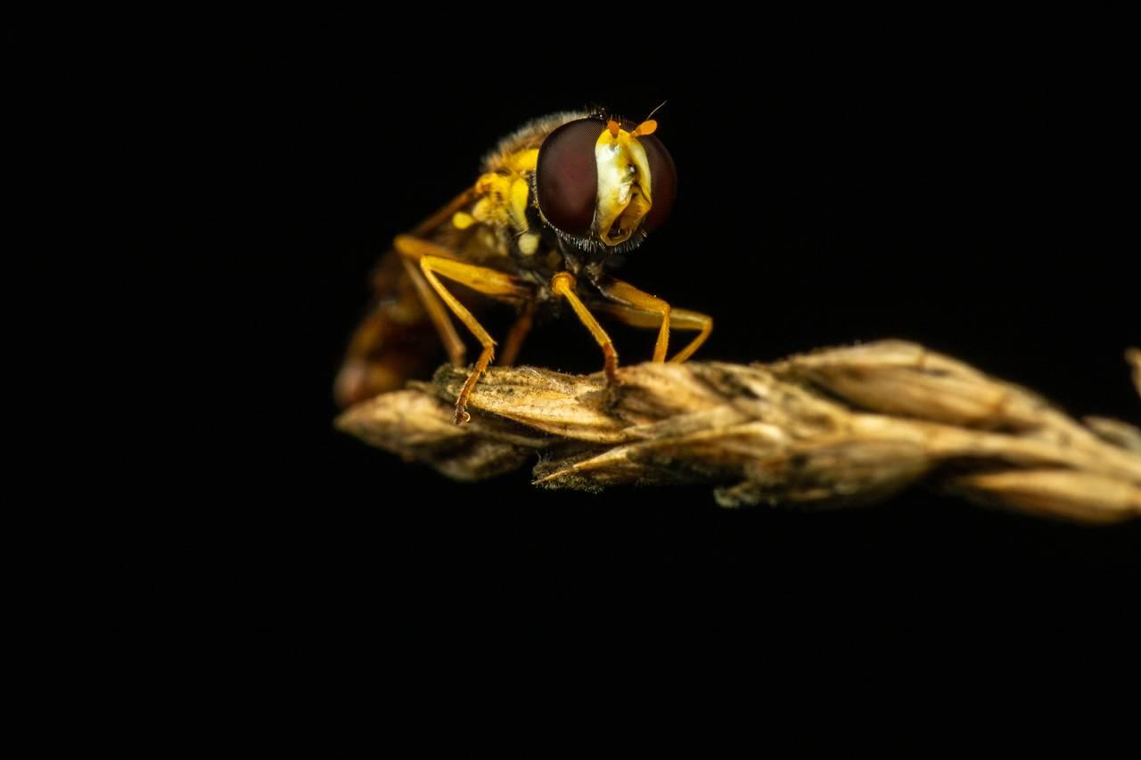 En kulehaleflue, som vi har hilst på tidligere, står på et strå. Den har faktisk munnen åpen, og det ser nesten ut som den skriker til oss.