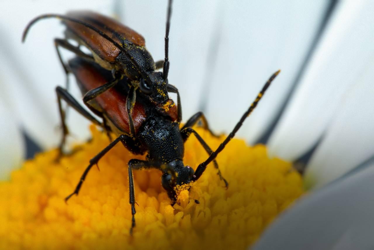 To blomsterbukker som parrer seg. De står oppå herandre. Hannen er øverst, hunnen nederst. Hunnen fortsetter å beite pollen mens hannen gjør sin gjerning.