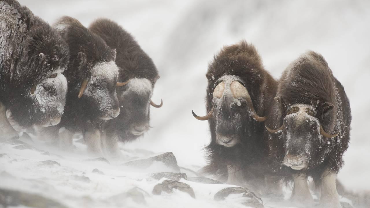 Fem moskus står i snødrev på Dovre om vinteren