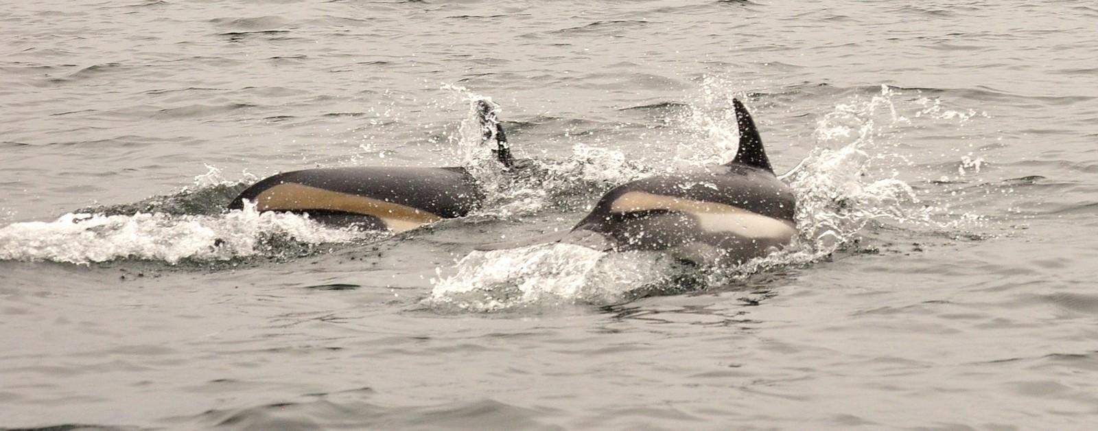 Delfinene kalles Kvitskjeving.