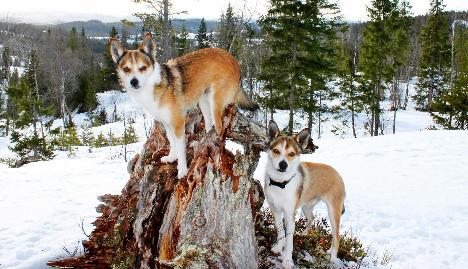 Norske lundehunder på Snøton i Orkdal