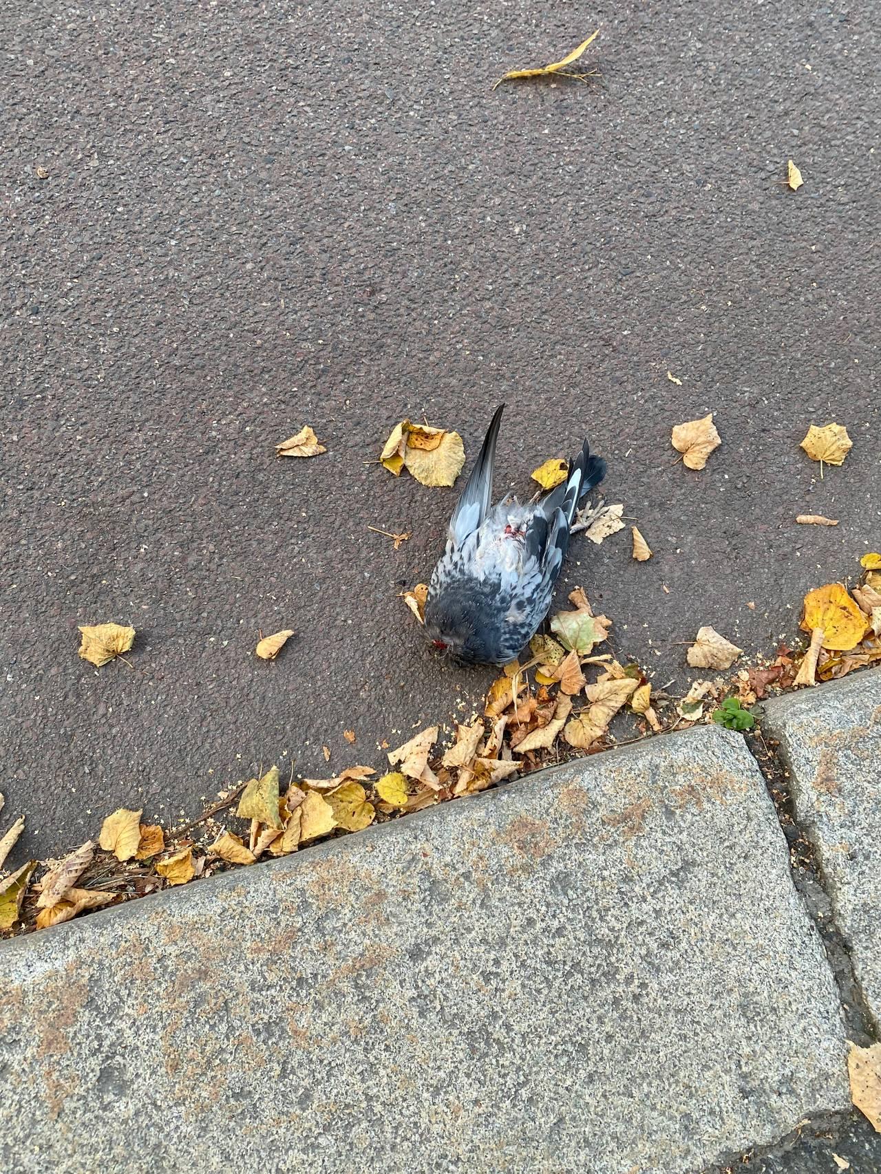 Hodeløs due i Kirkeveien