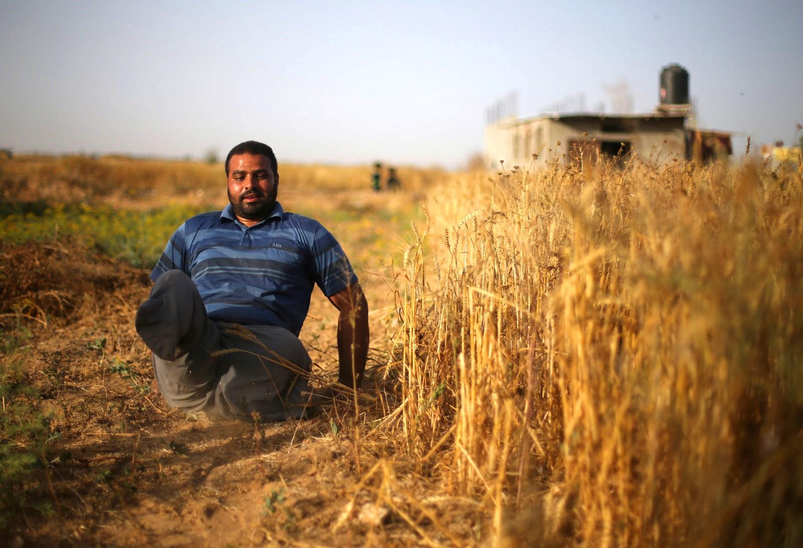 Palestinske Louy Al-Najar drar seg selv langs bakken mens han høster hvete på en åker i Khan Yonis, ved grensen til Israel. Han mistet beina for ni år siden da en israelsk missil eksploderte idet han var i ferd med å hjelpe skadde naboer under et oppgjør mellom israelske soldater og militante palestinere i Gaza.